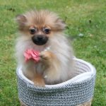 Pommersche Hunde Welpe Loulou