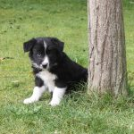 Border Collie chiot Frits