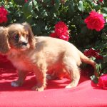 Cavalier King Charles puppy Whooper