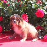 Cavalier King Charles puppy Willy