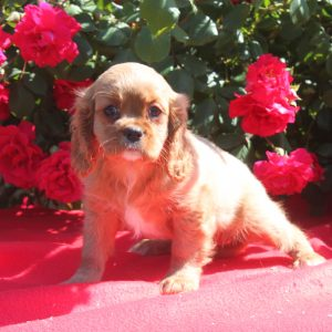 Cavalier King Charles puppy Lily