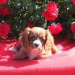 Cavalier King Charles puppy Lilo
