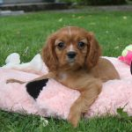 Cavalier King Charles puppy Belle