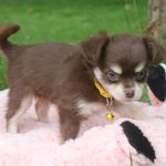 Chihuahua puppy Cookie