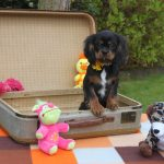 Cavalier King Charles puppy Gust