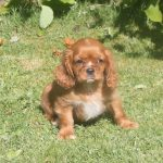 Cavalier King Charles puppy Ruby