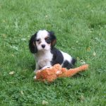 Cavalier King Charles puppy Dot