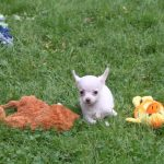 Chihuahua puppy Misty