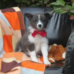 Border Collie puppy Beauty