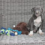 Amerikaanse Stafford puppy Wes