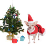 Chihuahua kerst