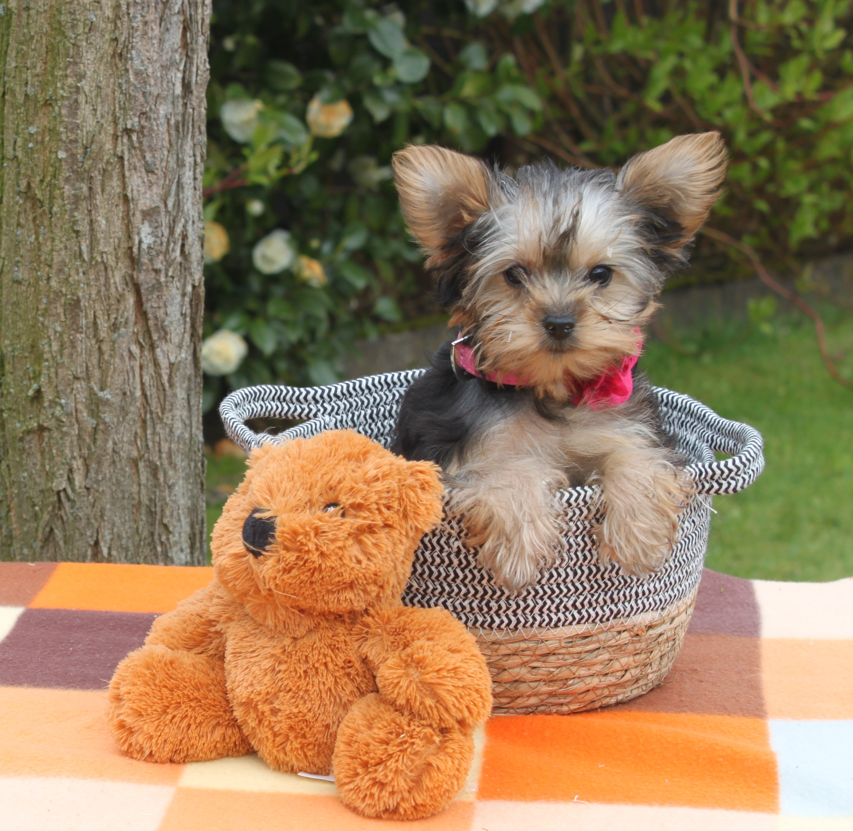 Yorkshire Terrier chiot Molleke