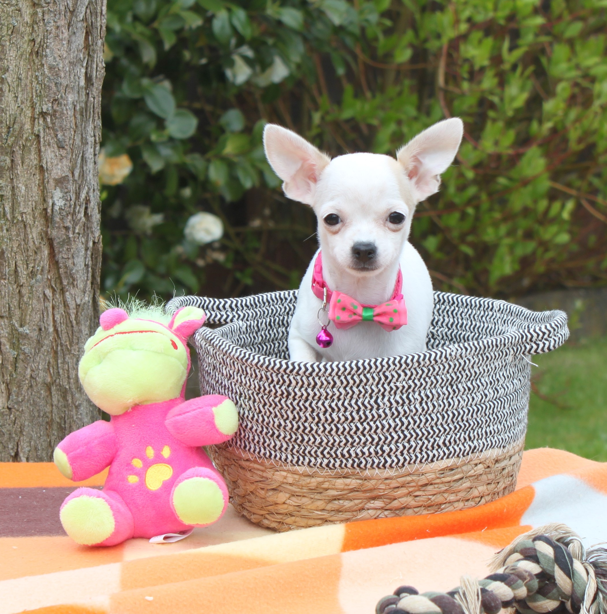 Chihuahua puppy Kathy