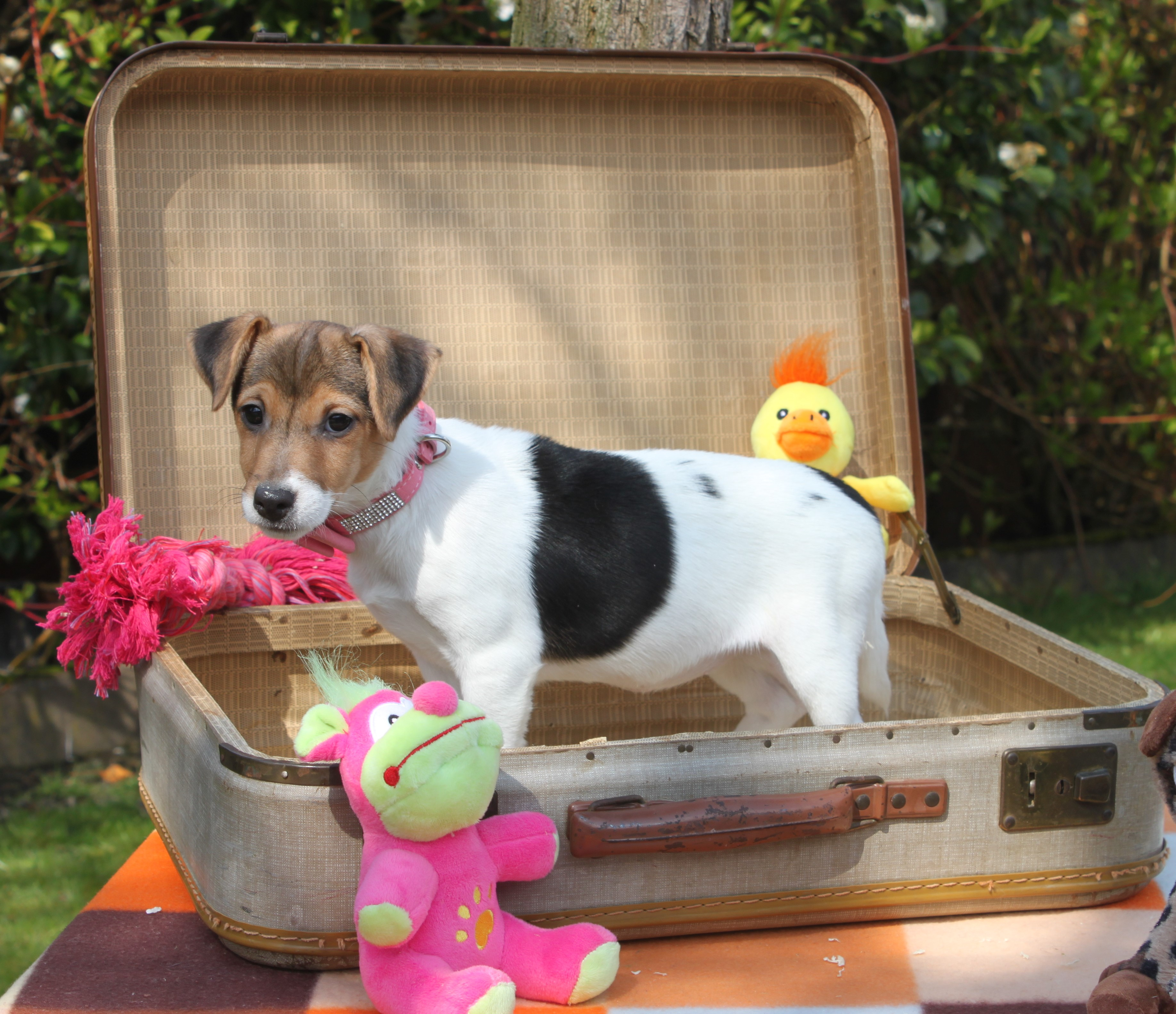 Jack Russel Terrier chiot Anna-Rose