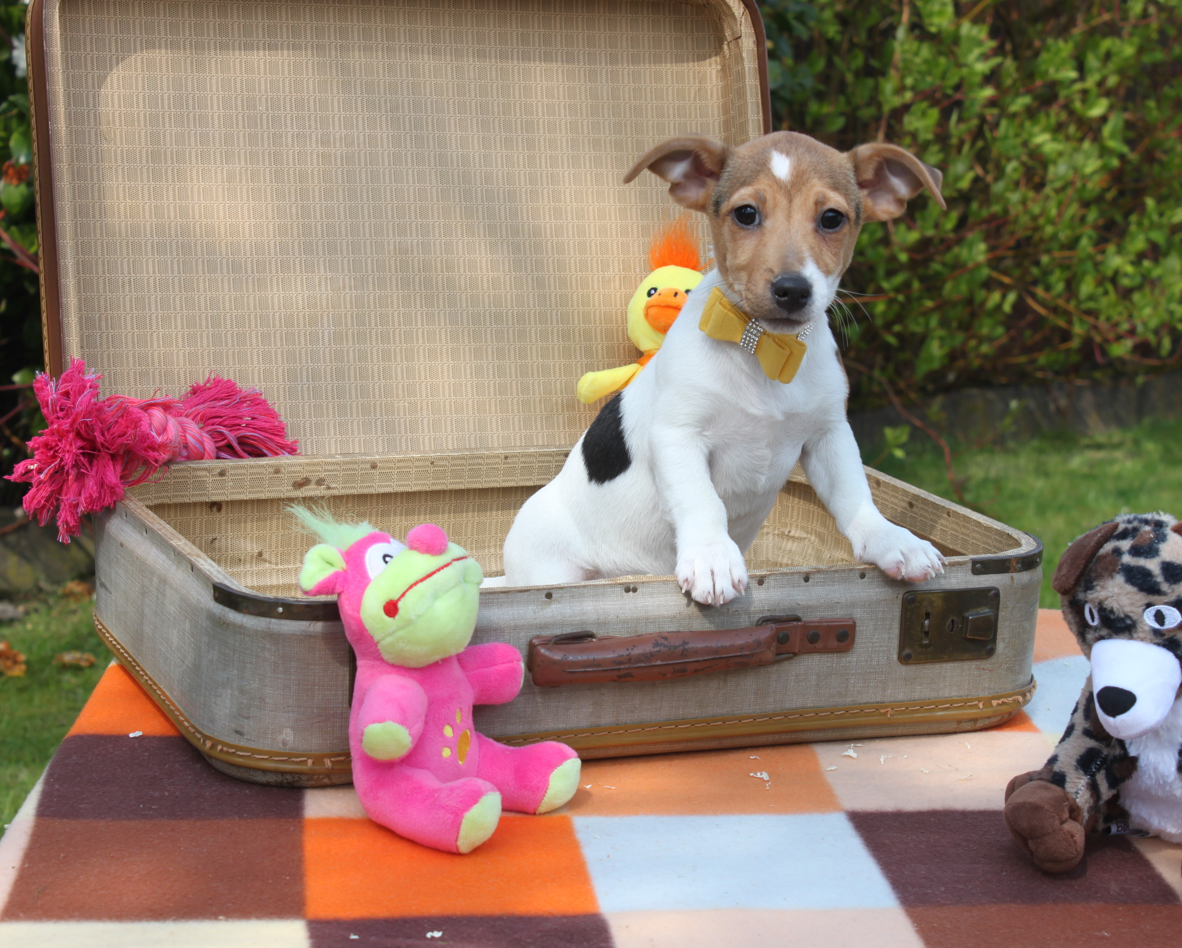 Jack Russel Terrier chiot Anna-Lucia