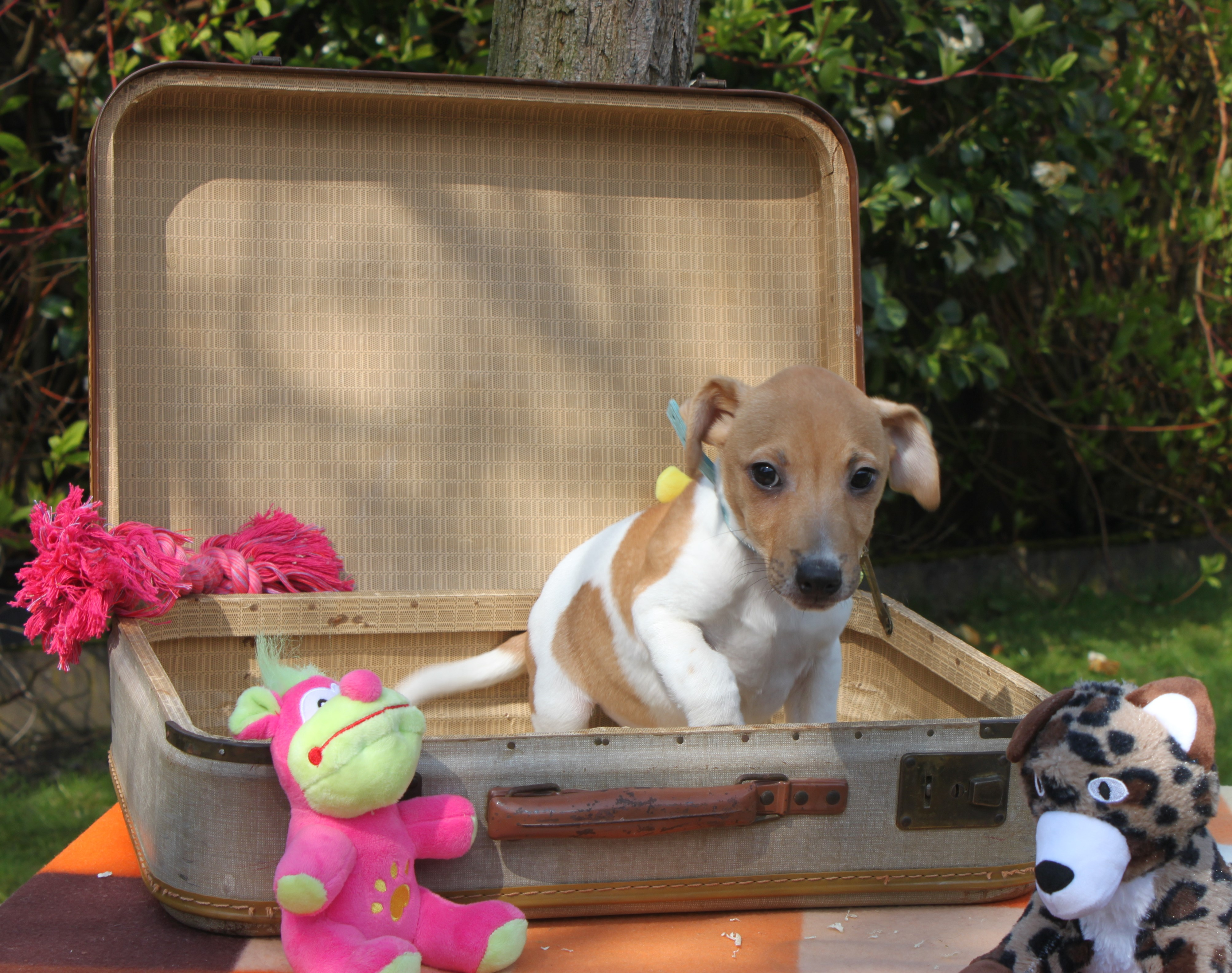 Jack Russel Terrier chiot Armand
