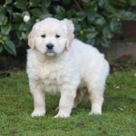 Golden Retriever puppy Caesar