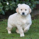 Golden Retriever puppy Calou