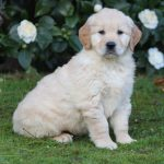 Golden Retriever puppy Capone