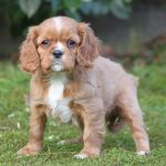 Cavalier King Charles puppy Chicco