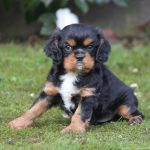 Cavalier King Charles puppy Chopin
