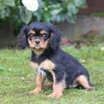 Cavalier King Charles puppy Charlie
