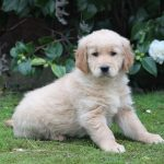 Golden Retriever puppy Voodoo