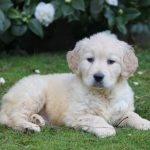 Golden Retriever puppy Viking