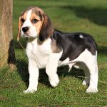 Beagle puppy Troy