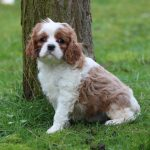 Cavalier King Charles puppy Cybelle