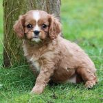 Cavalier King Charles puppy Cleo