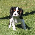 Cavalier King Charles puppy Sissi