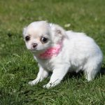 Chihuahua puppy Witje