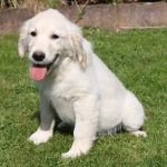 Golden Retriever Welpe Pipa
