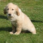 Golden Retriever Welpe Pipo