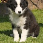 Border Collie puppy Wopper