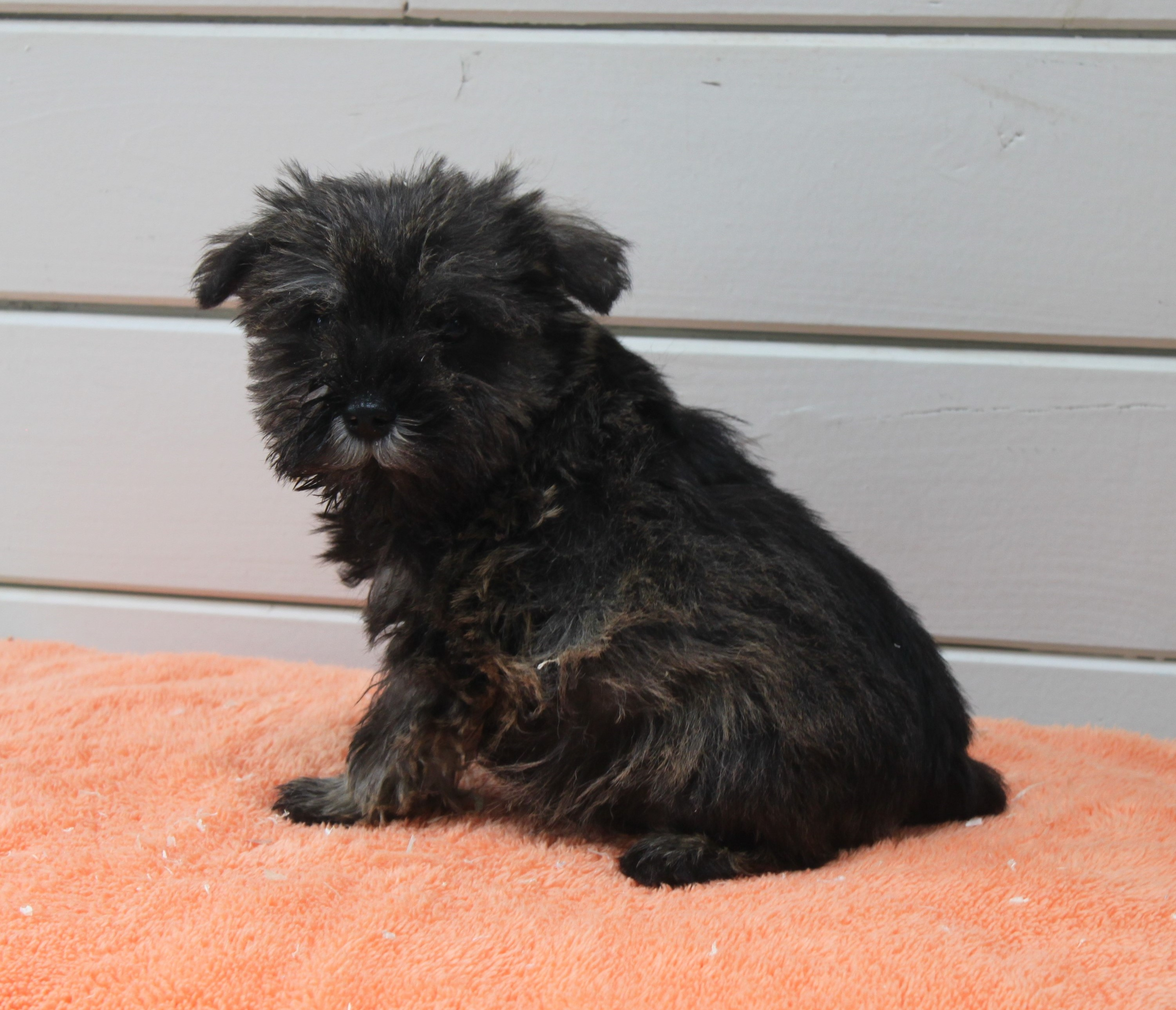 Schnauzer chiot Molly