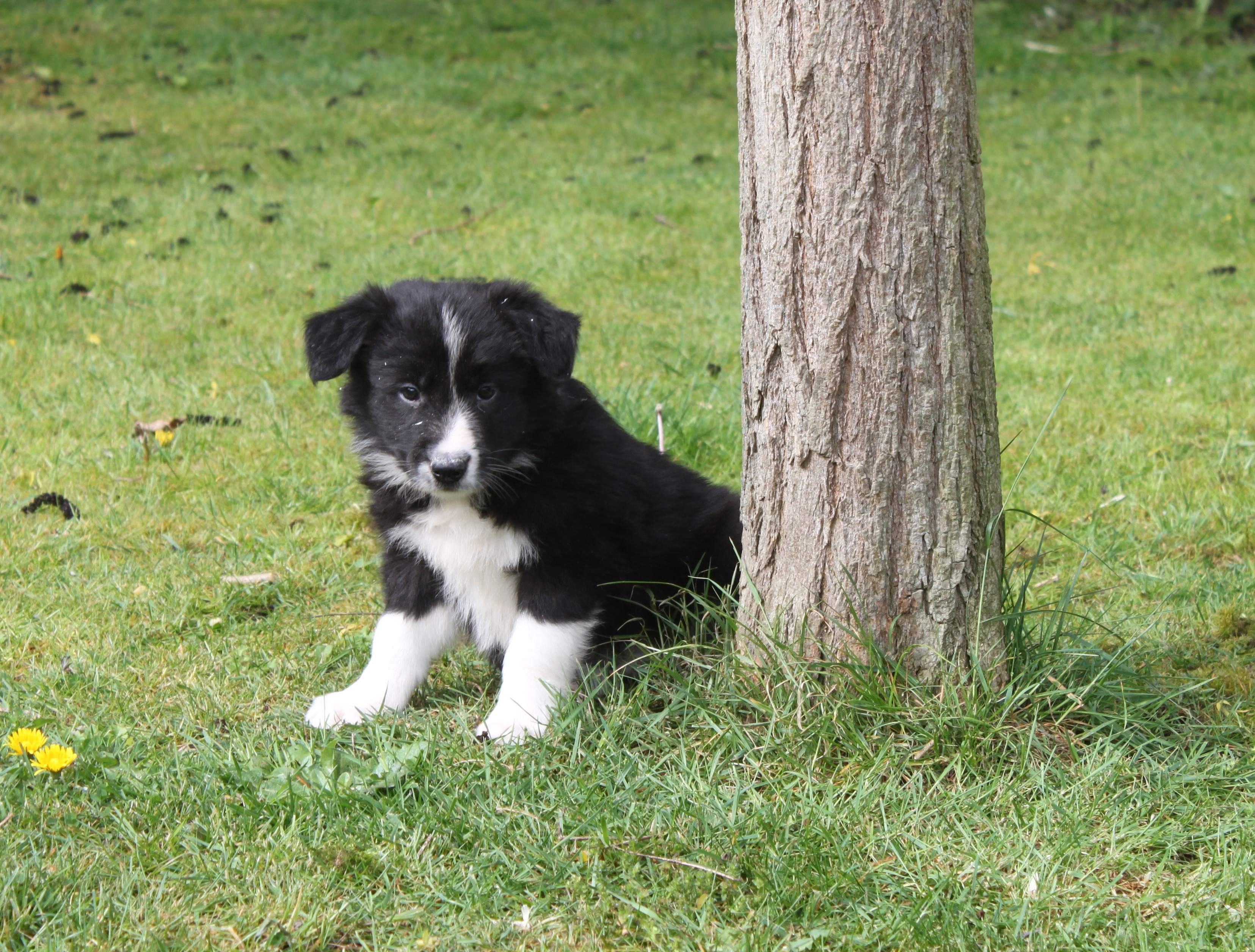 Border Collie chiot Babe