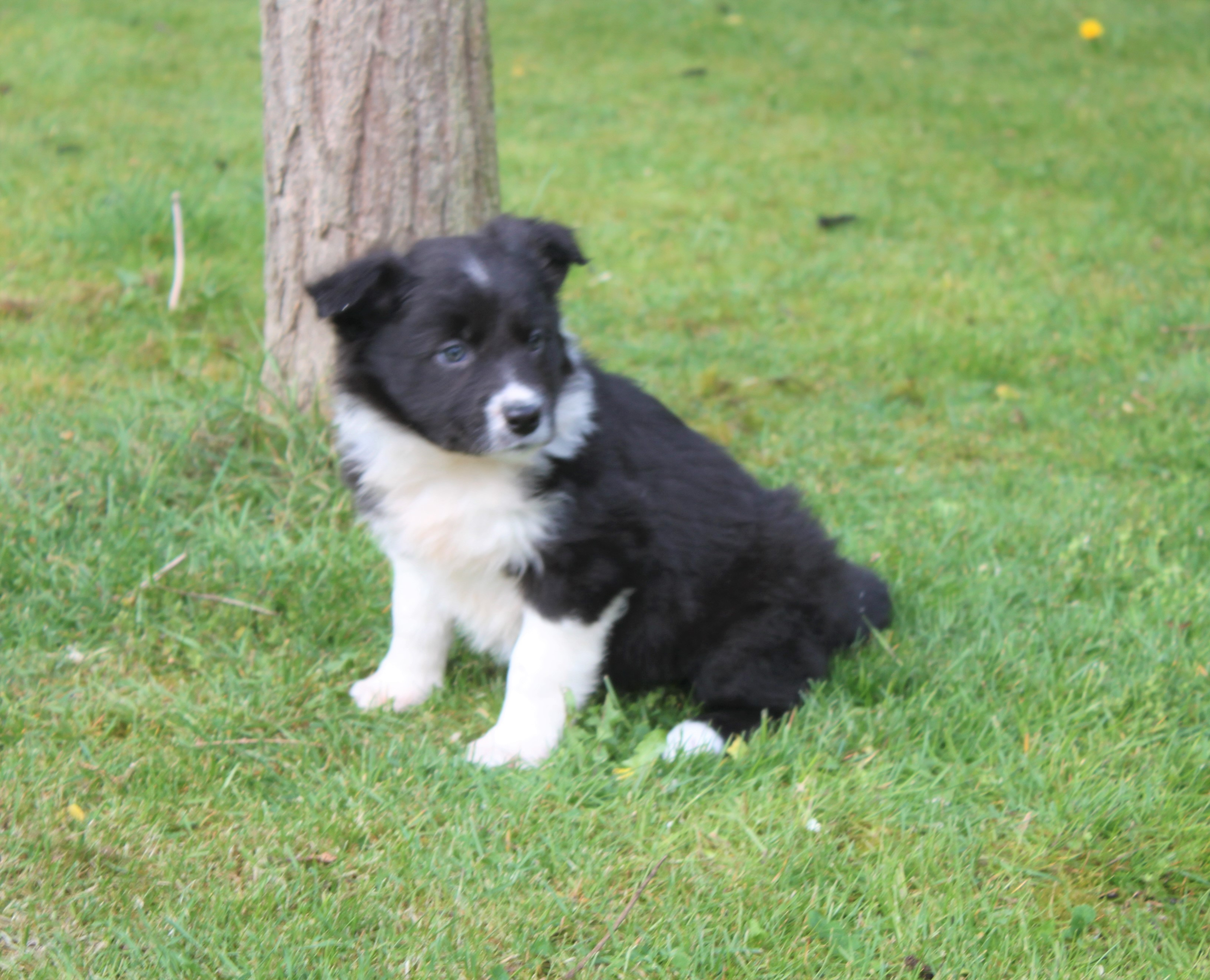 Border Collie Welpe Baco