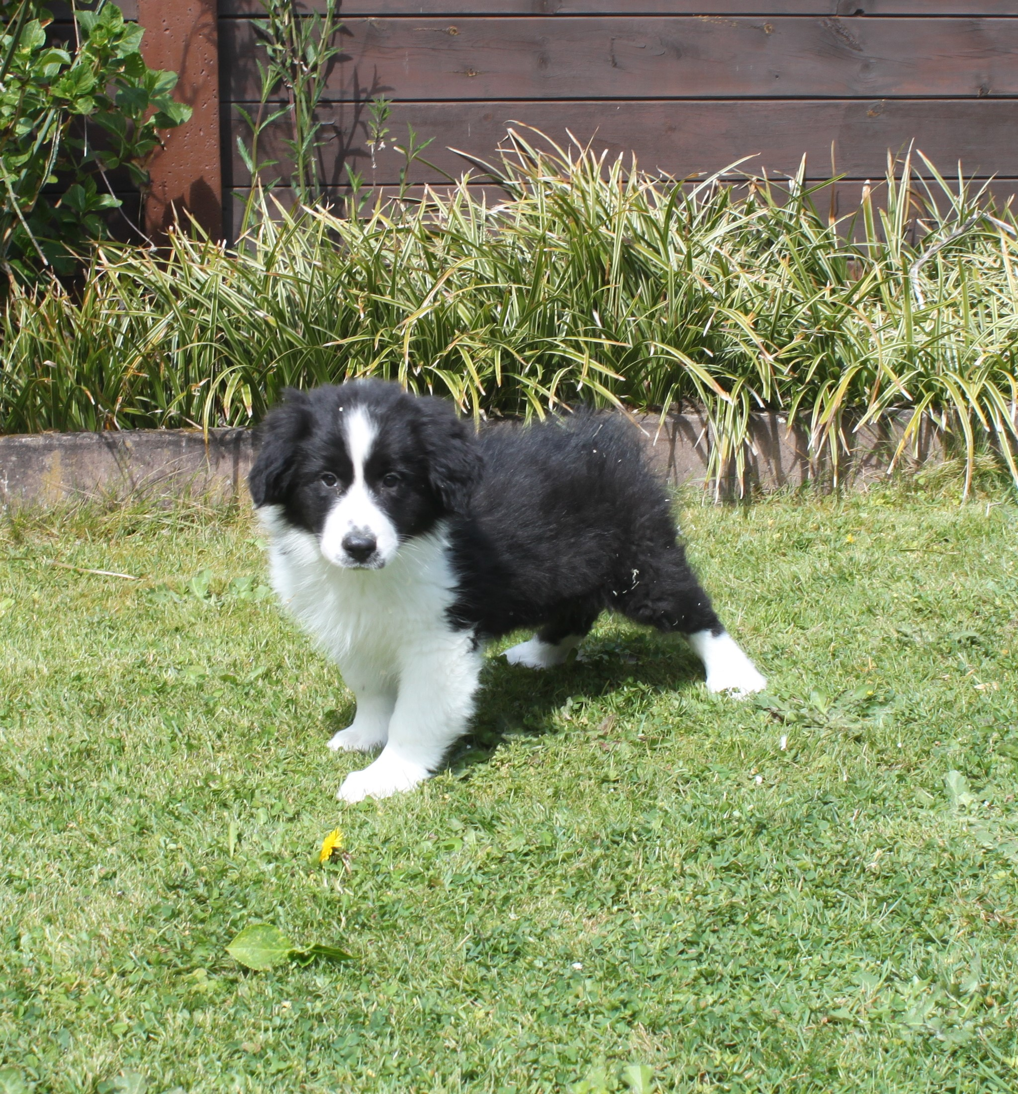 Border Collie chiot Baas