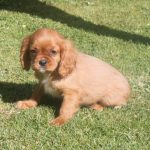 Cavalier King Charles puppy Floris