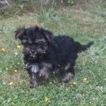 Yorkshire Terrier chiot Enzo