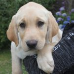 Labrador Welpe Droopy