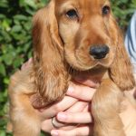 Engelse Cocker Spaniel puppy Does