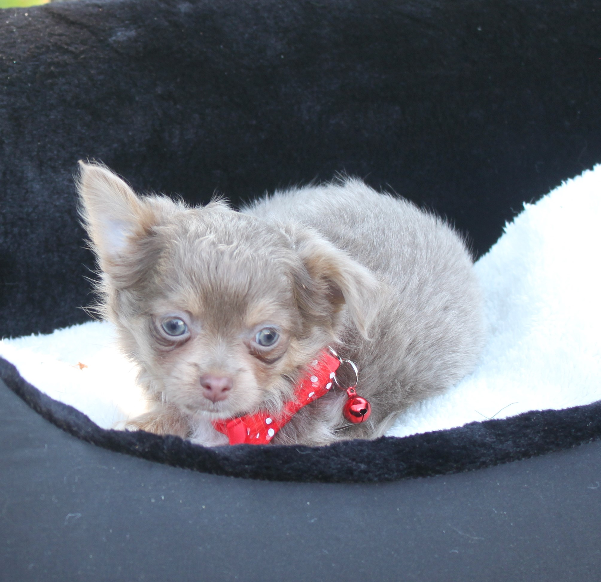 Chihuahua puppy Snoopy