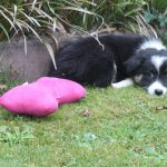 Border Collie Welpe Shy