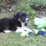 Border Collie Welpe April