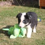 Border Collie chiot fluffy