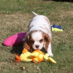 Cavalier King Charles puppy billy