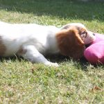 Cavalier King Charles puppy happy